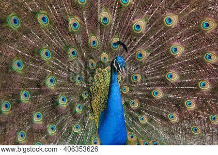 Indian peafowl (Pavo cristatus), also known as the blue peafowl.