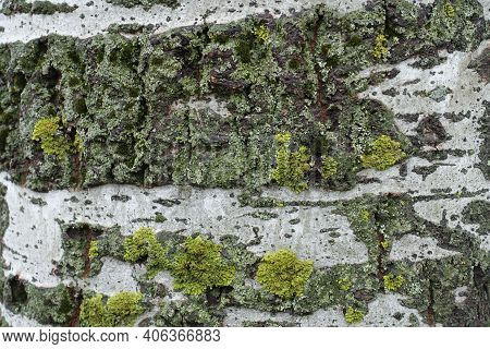 Light Grey Bark Of Populus Alba With Yellow And Green Lichen  And Moss