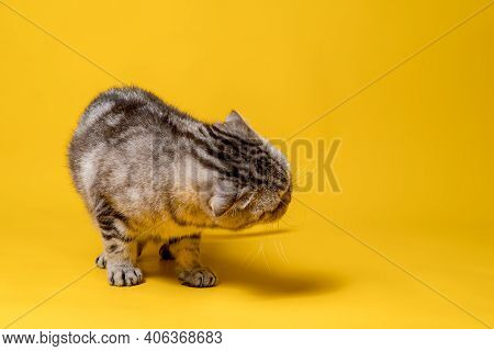 Beautiful Scottish Fold Cat Standing In A Bizarre Position. Copy Space. Yellow Background.