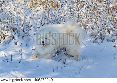 Samoyed - Samoyed Beautiful Breed Siberian White Dog Stands In The Snow Near A Bush In A Snowdrift.