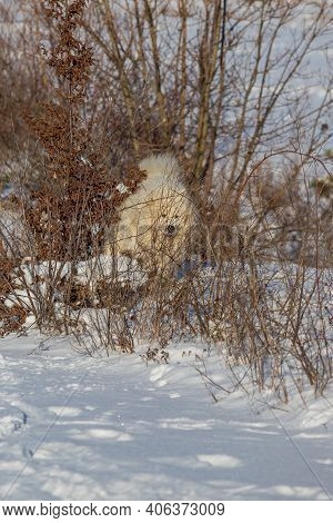 Samoyed - Samoyed Beautiful Breed Siberian White Dog Stands In The Snow And Is Hidden Behind A Bush.