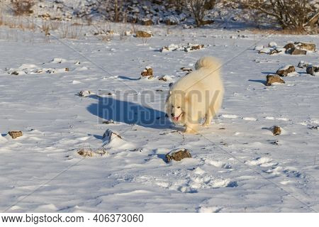 Samoyed - Samoyed Beautiful Breed Siberian White Dog Running In The Snow. The Dog's Tongue Is Out, S