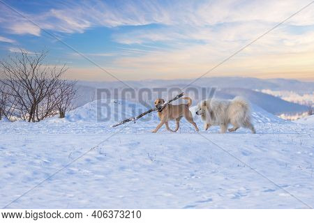 Samoyed - Samoyed Beautiful Breed Siberian White Dog Running In The Snow. There Is A Big Brown Dog I