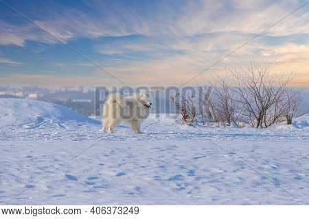 Samoyed - Samoyed Beautiful Breed Siberian White Dog Standing In The Snow. He Has An Open Mouth And