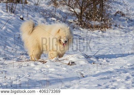 Samoyed - Samoyed Beautiful Breed Siberian White Dog Standing In The Snow. The Dog Has Closed Eyes A