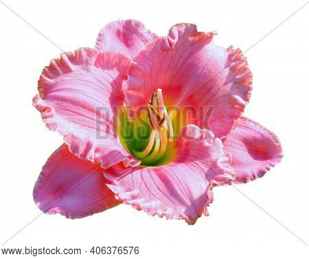 Flower Pink Fluffy Lily Isolated On White Background. Lily Flower Purple Color Close Up In Sunlight