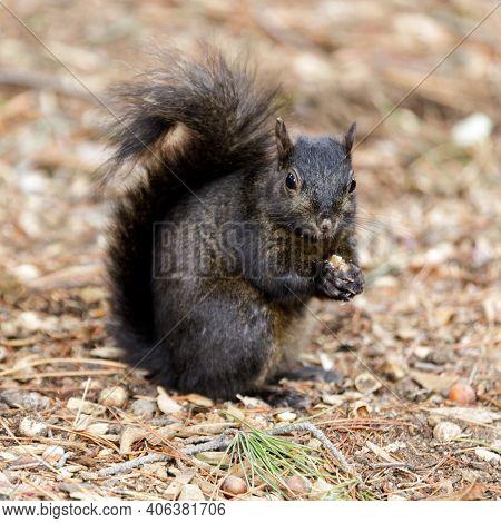 Color Morphed Eastern Gray Squirrel Eating Acorn. Santa Clara County, California, Usa.