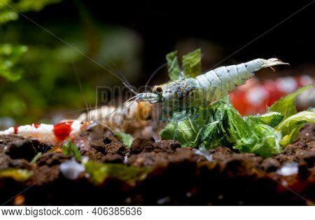 Blue Bolt Dwarf Shrimp Eat Food Near Vegetable Leaf And Other Shrimp As Background In Freshwater Aqu