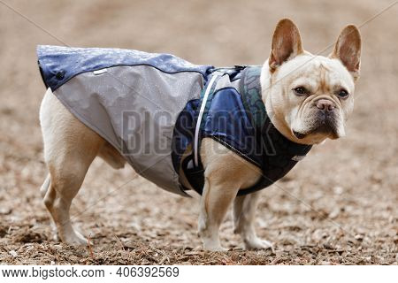 Young Male Frenchie Dressed Up With Raincoat. Off-leash Dog Park In Northern California.