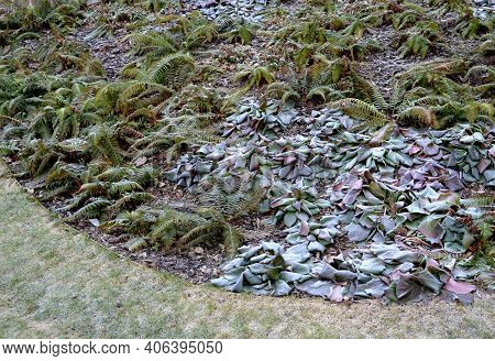 Winter Frosted Perennial Flowerbeds In The Park. Ferns And Some Evergreen Flowers Gently Frosted Wit