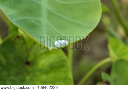 A Water Drop On A Taro Root Leaf - Water Conservation Concept.