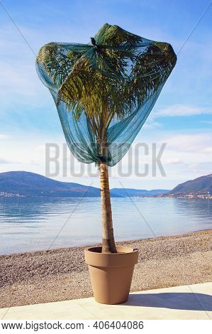 Protection Palm Tree From Cold Wind In Winter. Montenegro, Kotor Bay, Tivat