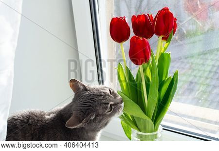 A Gray Cat Sits On The Windowsill And Nibbles A Leaf From A Bouquet Of Red Tulips.