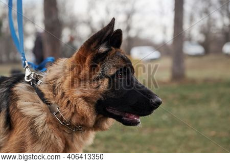 High Bred Dog With Protruding Ears. German Shepherd Puppy Breeding Show, Close Up Portrait On Backgr