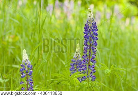 In The Field, Lupins Grow On Tall, Powerful Stems With Delicate Pink And Blue Flowers. Beautiful And