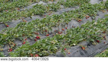 Fresh Strawberry plant in garden farm