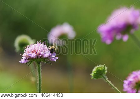 The Bee Sits On A Pink Wildflower Knautia Arvensis. The Honey Bee Collects Nectar. Close-up, Meadow