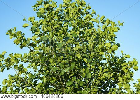 Alder - Bright Green Leaves And Branches Close-up.
