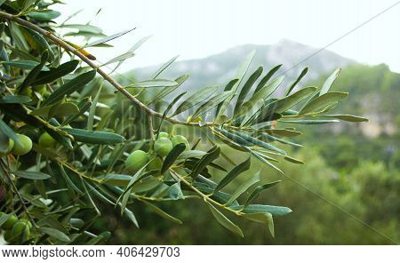 Sprig Of Olive Tree With Olive. Green Olive Tree On A Background Of Mountains