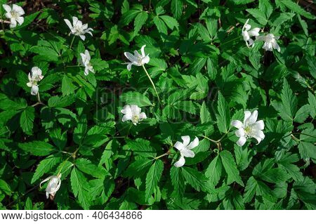 Top View Of White Flowers Anemone Nemorosa In Green Grass On Sunny Spring Day. Selective Focus, Flow