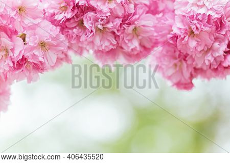 Amazing Pink Cherry Blossoms On The Sakura Tree In A Spring Garden.  Place For Text. Selective Focus