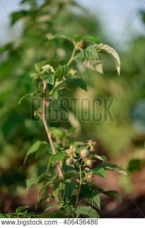 Unripe Raspberry Growing Closeup Photo. Fresh Ripe Raspberries In A Clay Bowl Under A Raspberry Bush