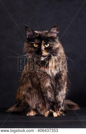 Whiskered Tortoiseshell Maine Coon Cat On Black Background