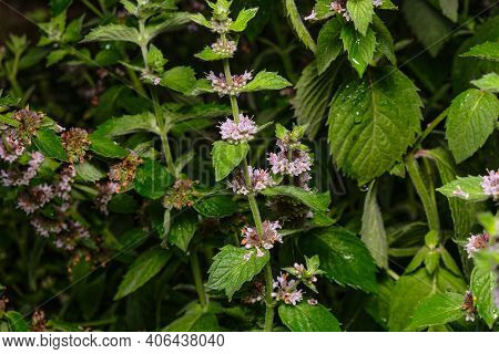 White Mint Flowers, The Process Of Flowering A Surprisingly Beautiful Menthol Mint. Close-up Photo O