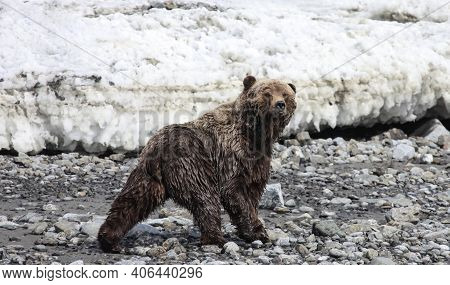 Bear Or Grizzly Bear Walks Quickly Along A Rocky Shore Against The Background Of Melting Ice. A Wild