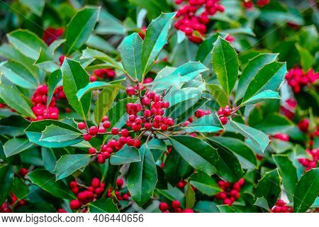 Holly Berries In Winter On Green Foliage