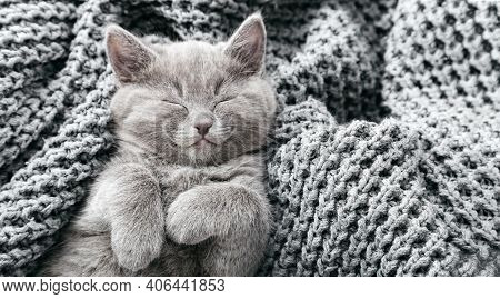 Gray British Kitten Lies On Gray Soft Knitted Blanket. Cat Portrait With Paws Rest Napping On Bed. C