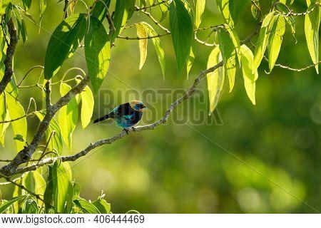 Golden-hooded Tanager - Tangara Larvata Medium-sized Passerine Bird, Resident Breeder From Mexico So