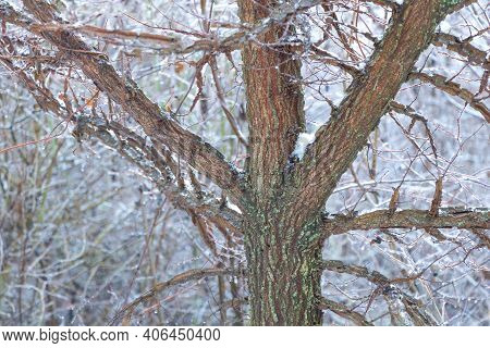Beautiful Elm Tree Photographed In Winter Without Leaves
