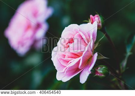 Elegant Pink Rose With Buds In The Evening Garden - Pirouette Rose By Olesen