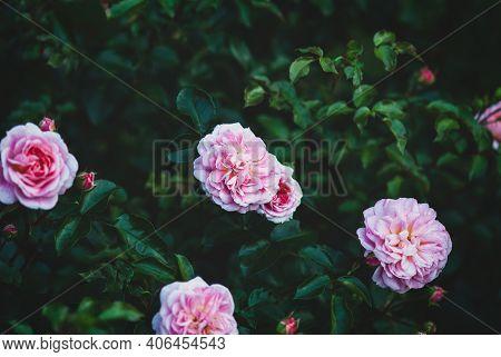 Pirouette Rose - Delightful Pink Garden Roses On Dark Green Rosebush