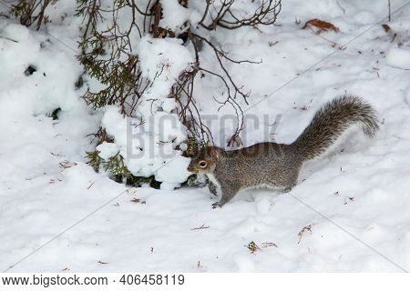 Squirrel walking on snow after winter blizzard