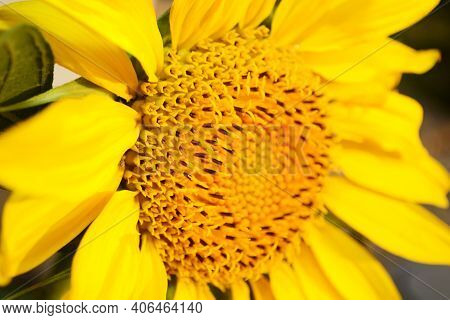 Soft Focus Macro Fresh Yellow Sunflower. Harvest Time, Agriculture, Farming. Sunflower Blooming Clos