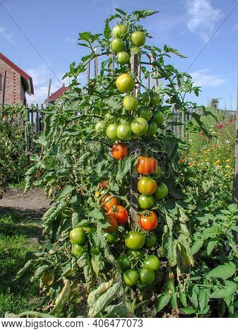 Bush With Green And Red Tomatoes In The Garden