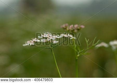 Coriander Is A Soft Leafy Herb That Is Entirely Edible. It Grows 50 Cm Tall And Produces Petite Whit