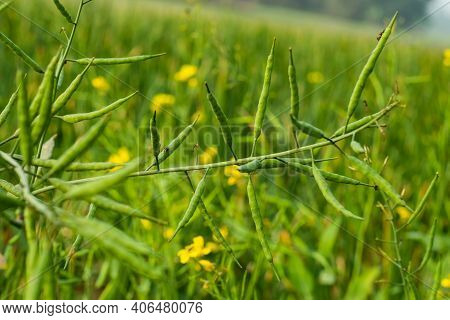 Mustard Seed Is Used As A Spice. The Mustard Plant Is A Plant Species In The Genera Brassica And Sin