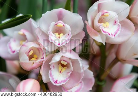 Cymbidium Orchid Flower In Orchid Garden At Spring Day. Orchid Flower For Beauty Design. Beautiful O