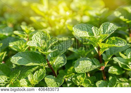 Fresh Mint Leaves Growing In The Garden. Green Fresh Leaves Of Mint. Mint Leaf Texture. Mint Leaves