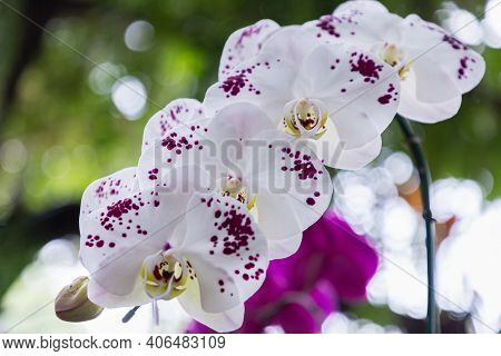 Phalaenopsis Orchid Flower. Colorful Flower. Flower In Garden At Spring Day. Flower For Decoration D
