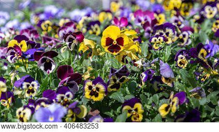 Viola Flower. Flower In Garden At Spring Day. Viola Flower For Decoration Design. Colorful Flower. B