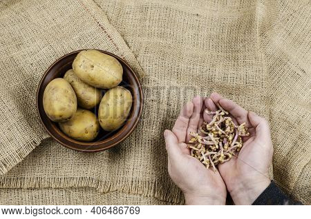 Palms With Potato Sprouts And Raw Potatoes. Man's Hands Holding Broken Off Potato Sprouts. A Bowl Of