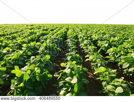Growing green soybeans plant on field. Soy plantation on white background.