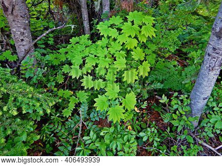 Mountain Greenery - A Patch Of Devil's Club And Other Greenery In The Woods By Hand Lake - Cascade R