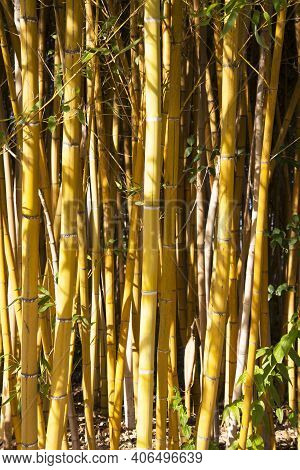 The Beauty Of The Golden Bamboo With Golden Stems And Green Leaves. Popular To Decorate The Garden B