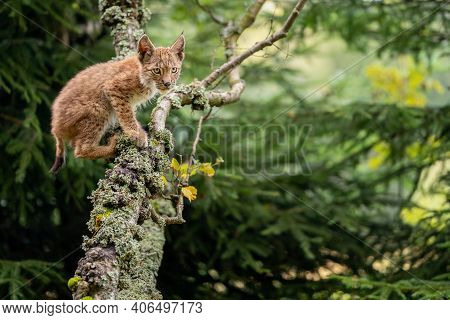 Lynx Cub Crawls On Lichen-covered Tree Branches. Photo Of A Lynx In A Forest Environment