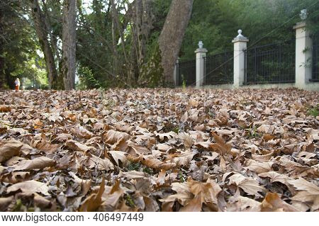 Leaves That Have Fallen From The Trees In The Forest With The Onset Of Autumn Fallen Maple Leaves, L